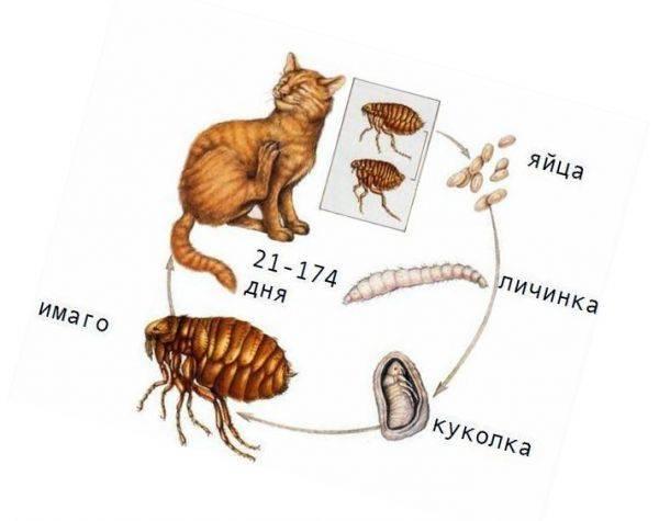 Откуда блохи у домашней кошки и кота: пути заражения