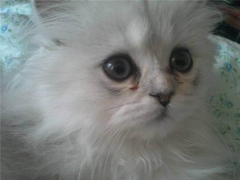Почему у котенка могут гноиться глазки, чем лечить малыша в домашних условиях, как промывать глаза?