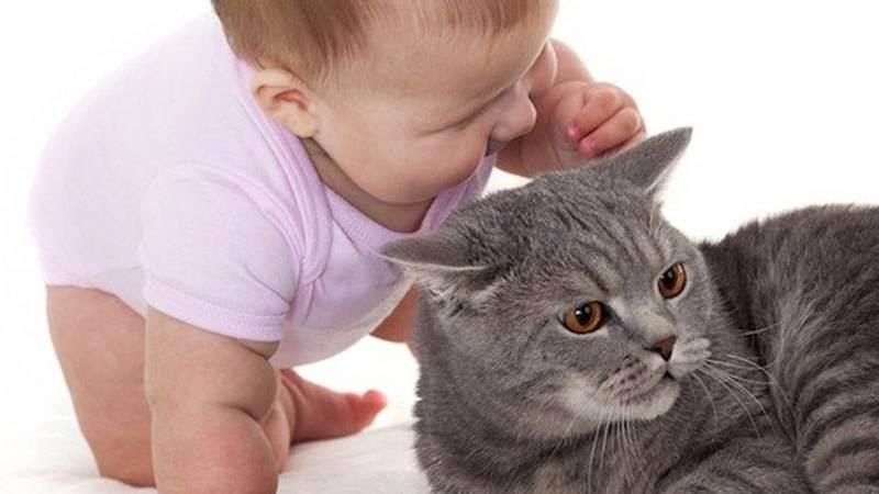 У ребенка аллергия на британскую кошку