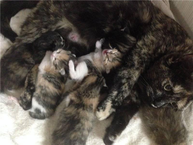 Сколько максимум котят может родить кошка - zhivomag