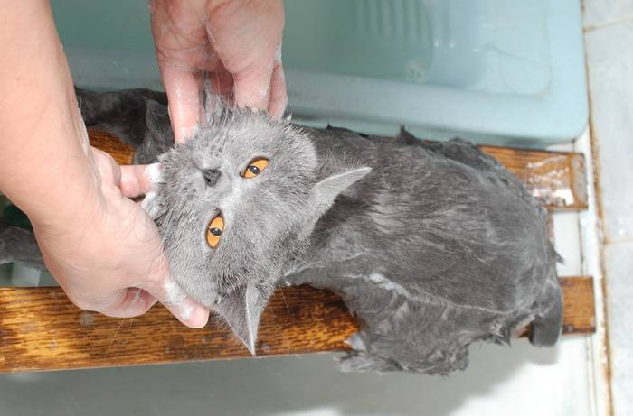 Еще одна загадка сфинксов разгадана: как правильно купать кошек этой породы