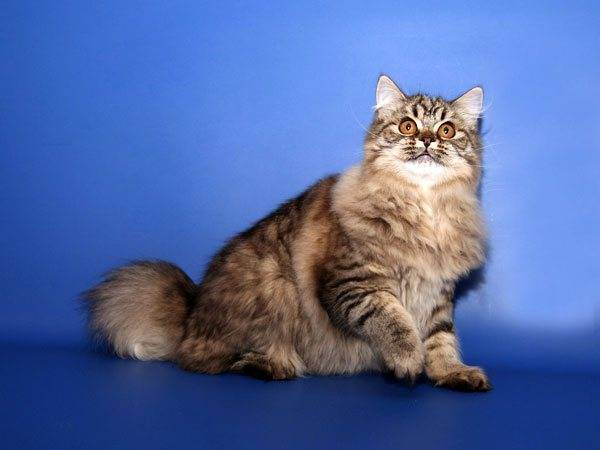 Полосатые породы котов и кошек: список с названиями, описанием и характеристиками