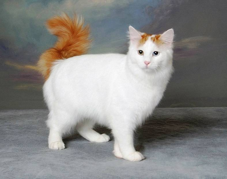 Турецкий ван: описание породы кошек с фото, характер, особенности содержания