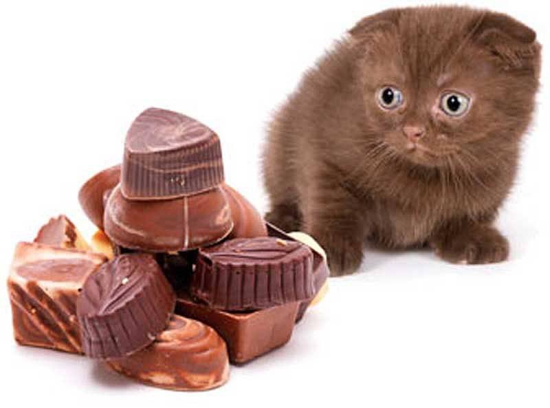 Можно ли кошкам давать сладкое?