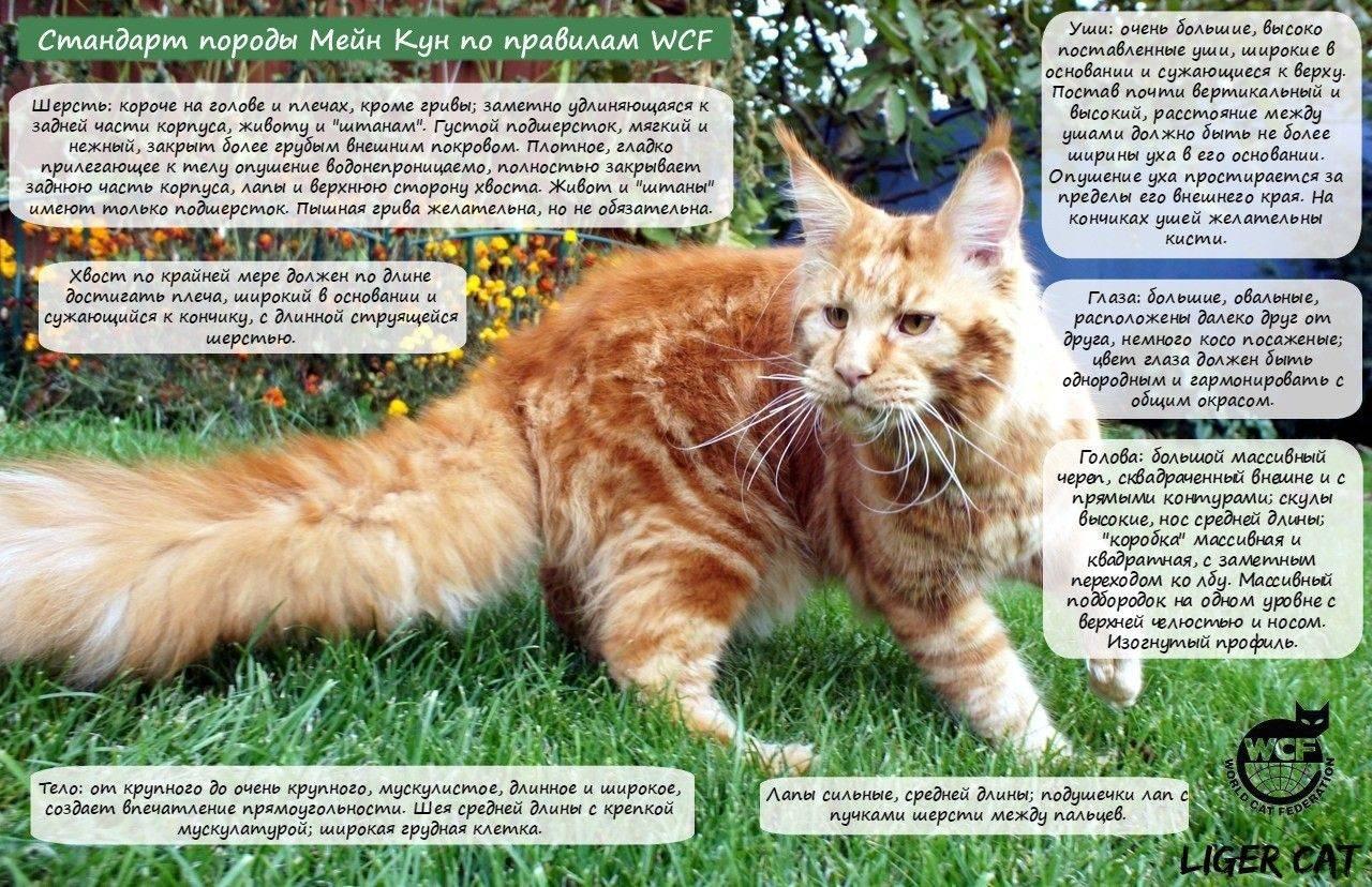 Кошка породы мейн-кун - описание, отзывы владельцев, фото | наши лучшие друзья