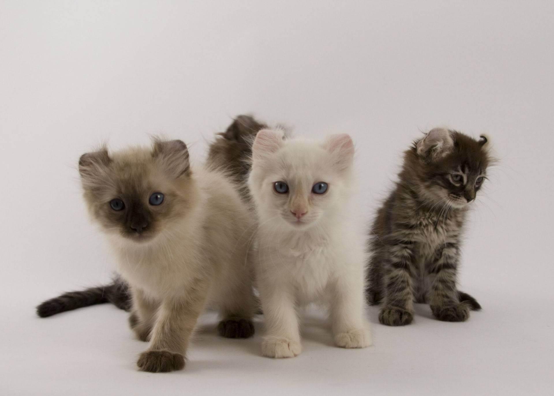 Все о кошках породы ликой
