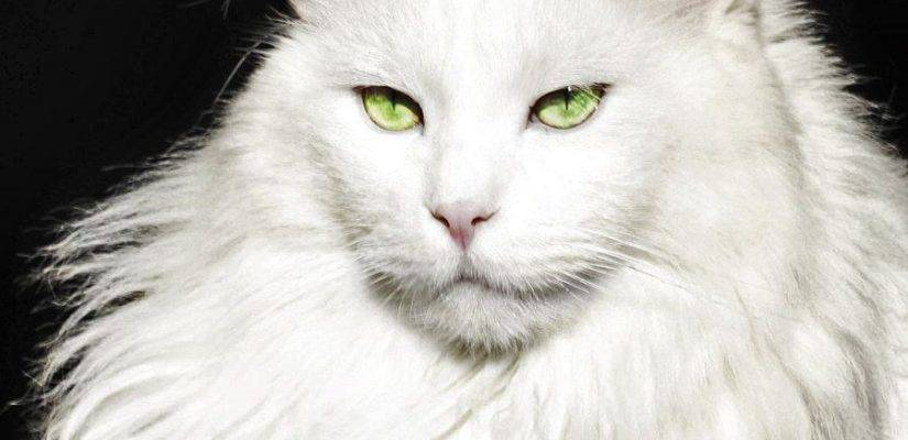 Породы белых кошек: список с фото и названиями