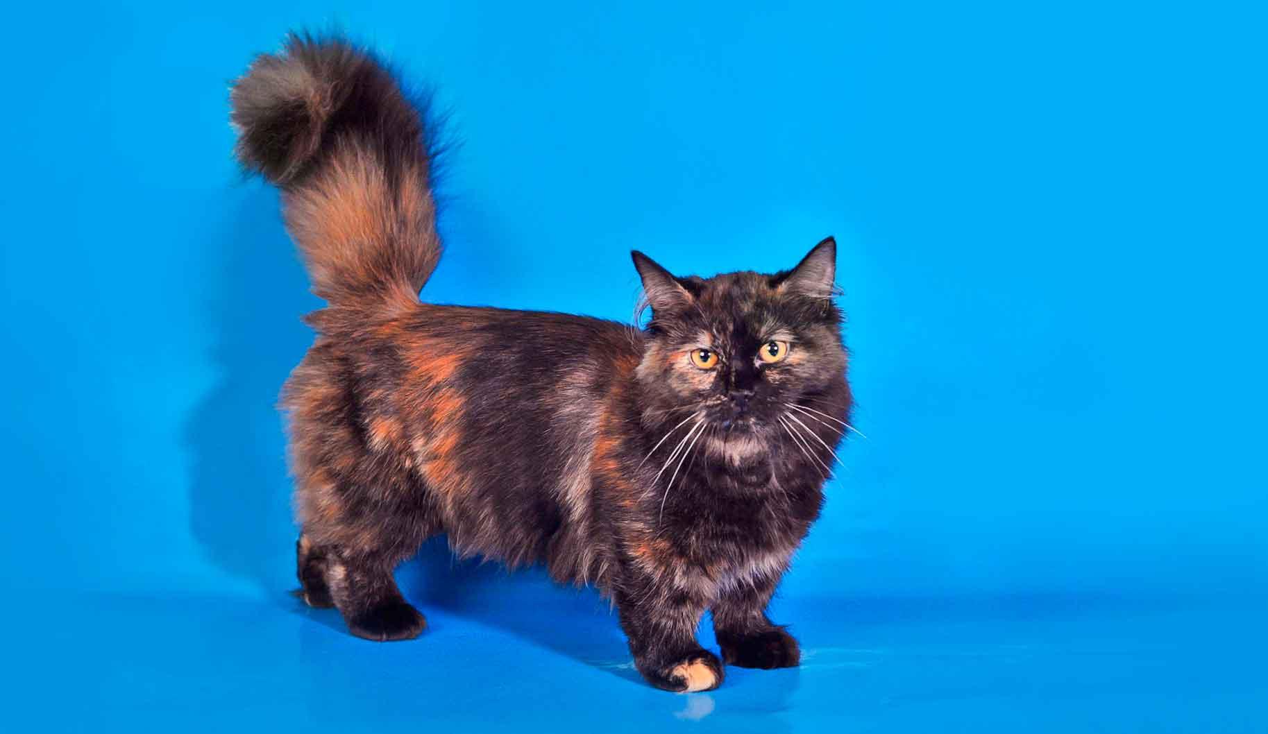Манчкин-описание породы, характер, фото, стоимость котенка