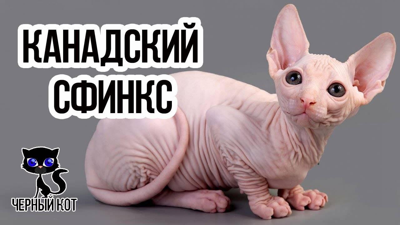 Интересные факты о кошках сфинксах