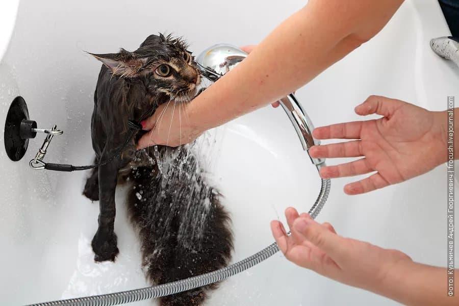 Как часто можно купать кошек и котов: нужно ли мыть домашнюю кошку, и если да, то как это правильно делать?