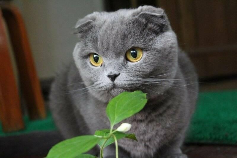 Шотландская вислоухая кошка – описание, уход, характер, кормление