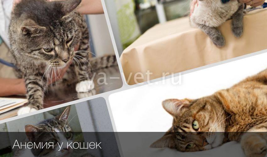 Железодефицитная анемия у кошек и собак: симптомы, диагностика и лечение