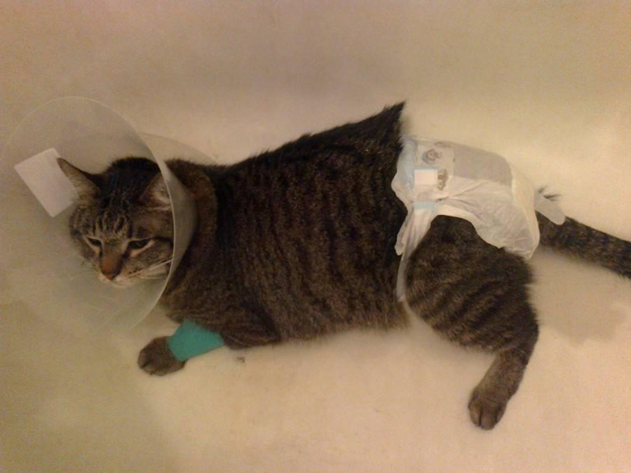 Памперсы для кошек: как правильно одеть, как сделать