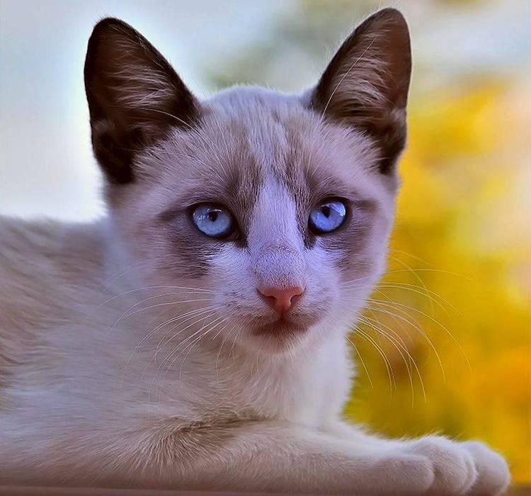 Популярные породы коричневых кошек и котов