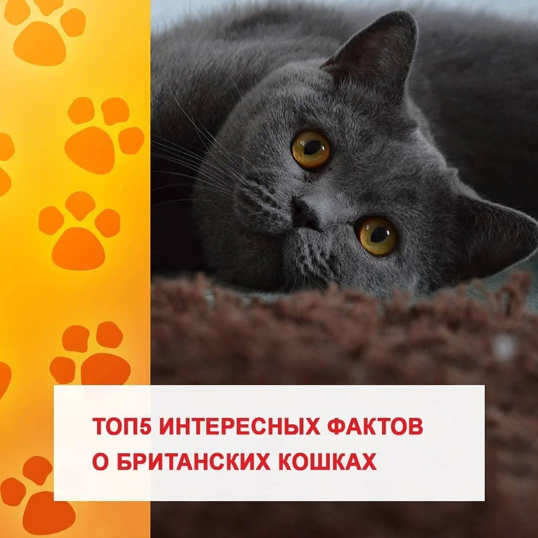 Клички для британских котов и кошек: популярные и красивые имена, которыми можно назвать мальчика и девочку британской породы