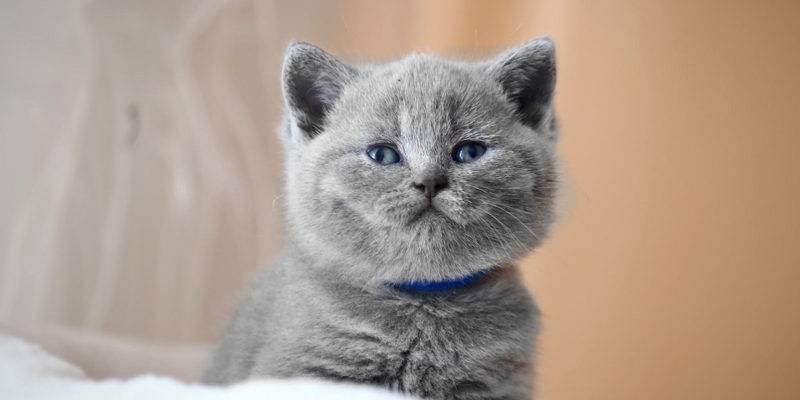 Как правильно выбрать котенка британца
