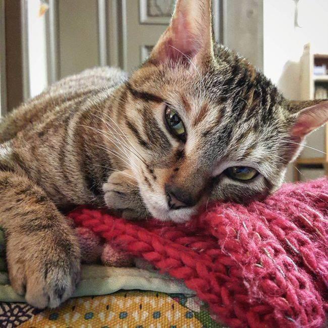 Снотворное для кошек. эффективное успокоительное для кошек
