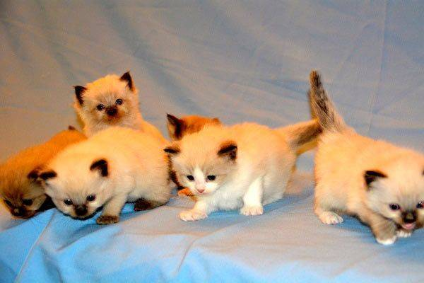 Разберемся, какая порода кошек самая добрая и ласковая