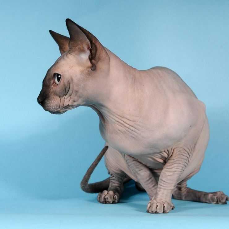 Все о породе кошек канадский сфинкс - описание характера, советы по уходу и содержанию, фото и видео на сайте лапы и хвост