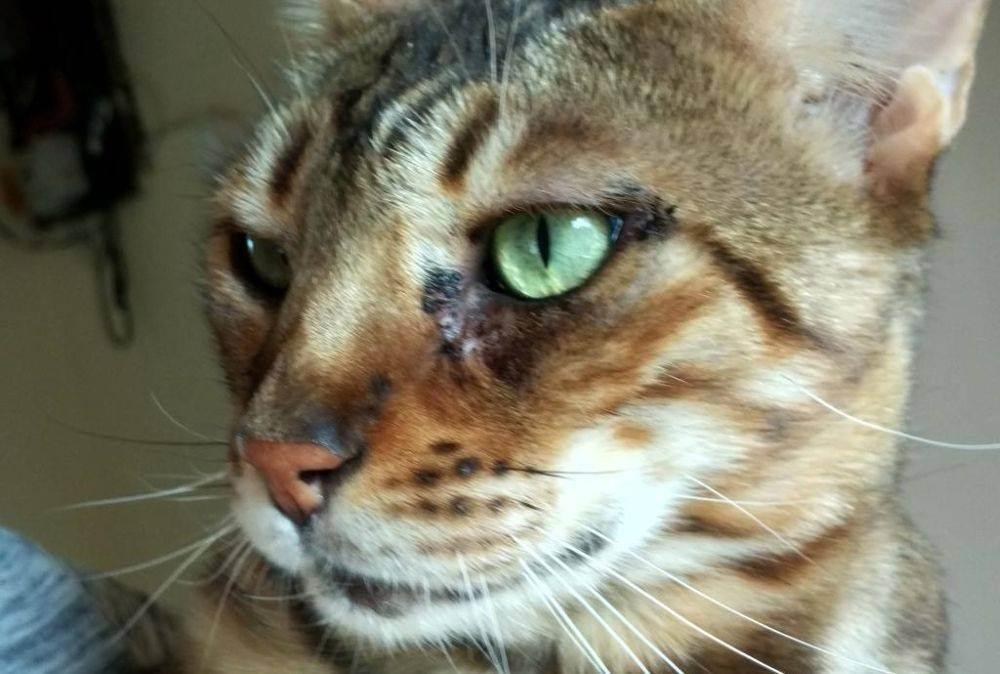 Симптомы и лечение ринотрахеита у кошек