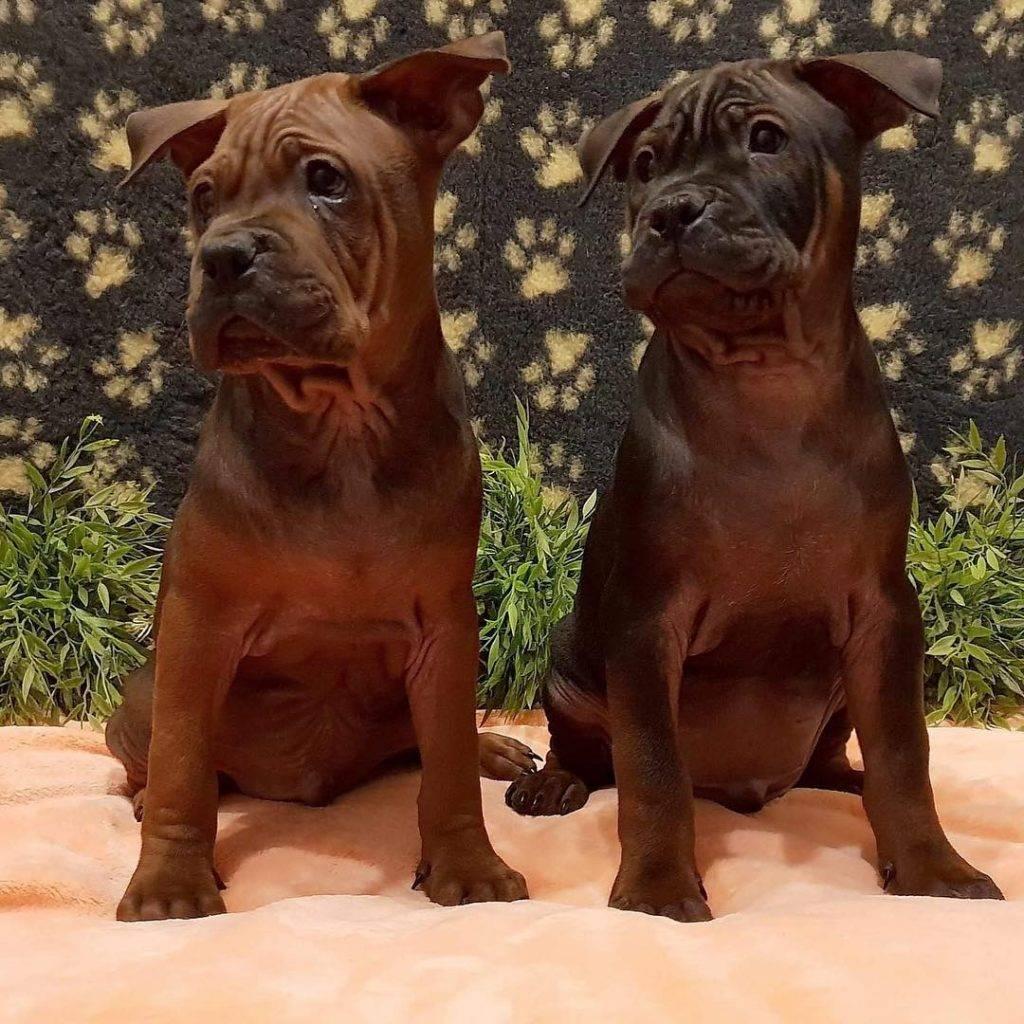 Чунцин собака: происхождение и описание породы,уход,питание,фото,видео