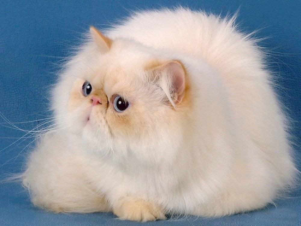 Крупнейшие кошки мира: 10 впечатляющих размерами пород