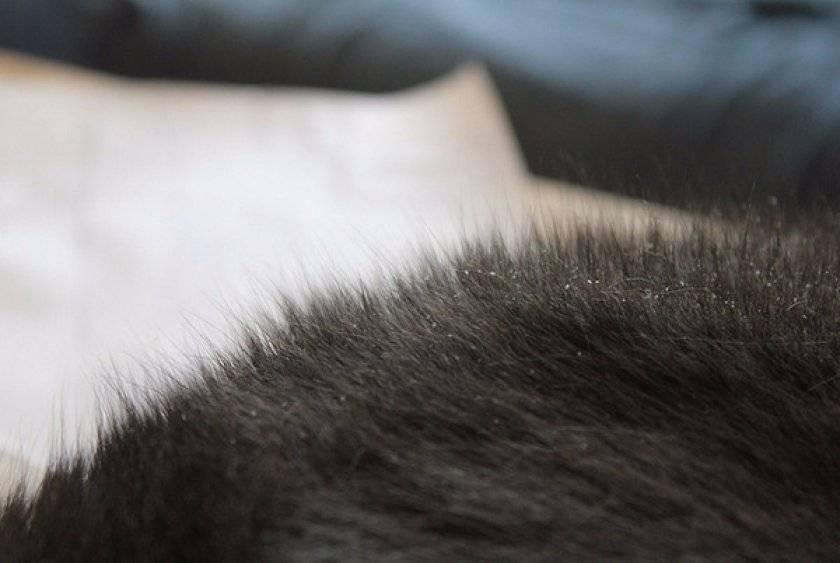 Перхоть у кошек: причины, лечение и меры профилактики