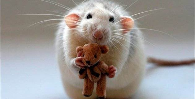 Ловят ли вислоушки мышей ???!