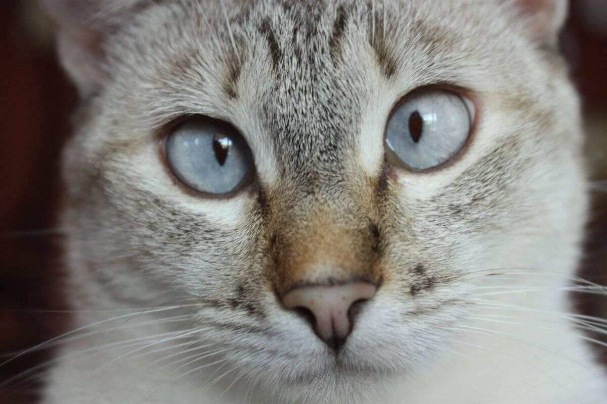 Как определить и вылечить косоглазие у кошек - oozoo.ru