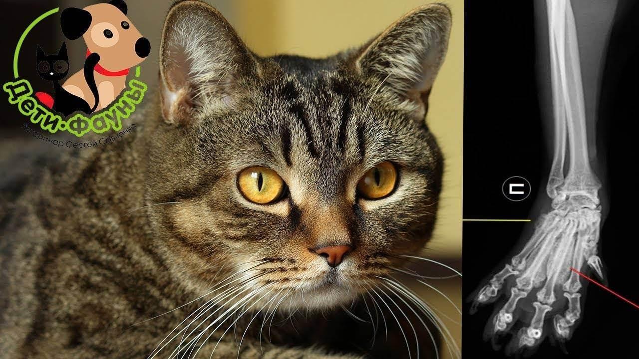Кот стал хромать на переднюю или заднюю лапу: что делать при хромоте без видимых повреждений, после травмы или операции?