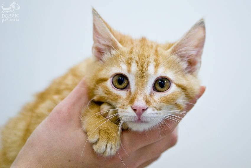 Как и чем промыть глаза кошке, котенку: инструкция для хозяев, лекарственные и народные средства, противопоказания и предосторожности