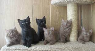 Рекомендации по уходу за британскими котятами