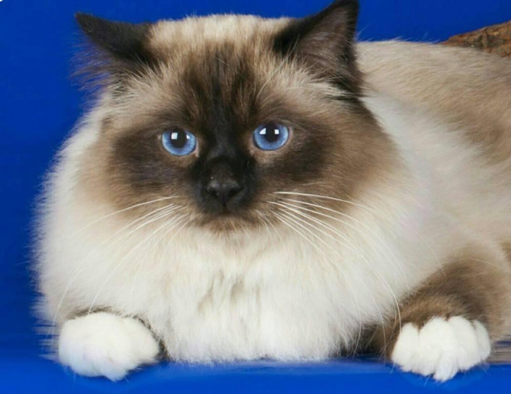 Священная бирма: внешний вид бирманской кошки с фото и другие характеристики по стандарту породы