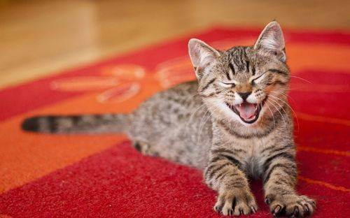 Как удалить запах кошачьей мочи с ковра?