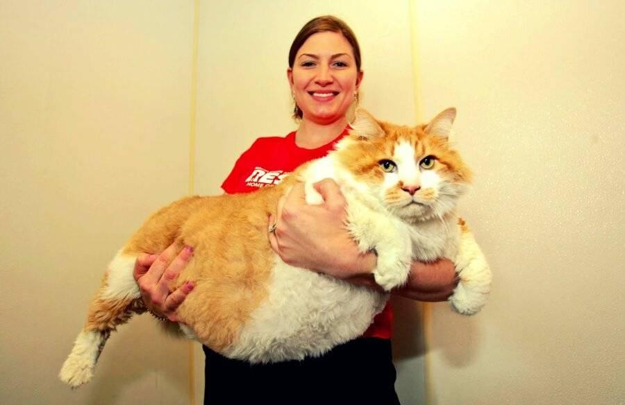 Кошки в книге рекордов гиннеса | рыжий кот