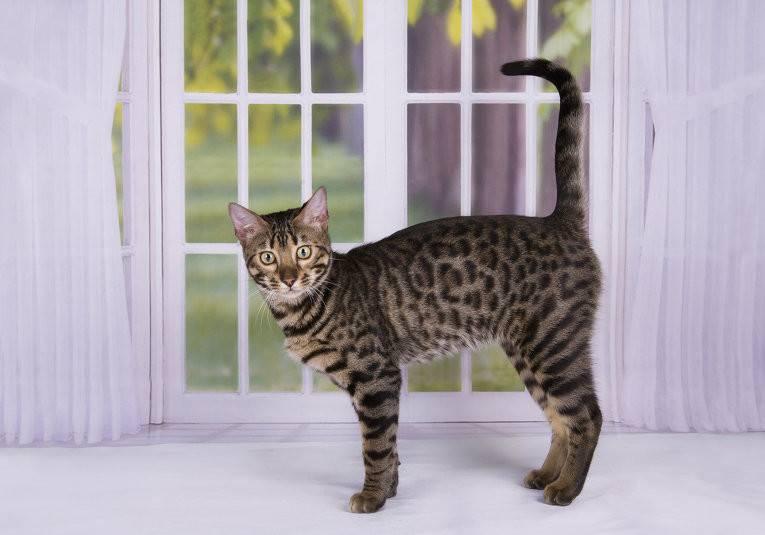 Пятнистые кошки: породы с описанием, фото