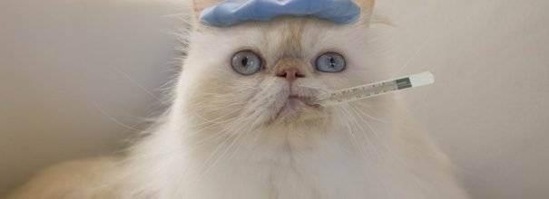 Температура у кошки - норма и патология, разбираемся в причинах