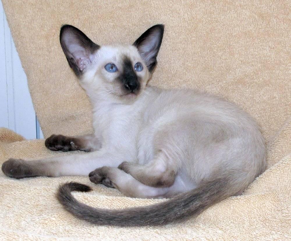 Кошки: о сиамах и не только... - кошки, породы, сиамы, тайцы, происхождение, история, различия, окрасы, колор-пойнт, разновидности по