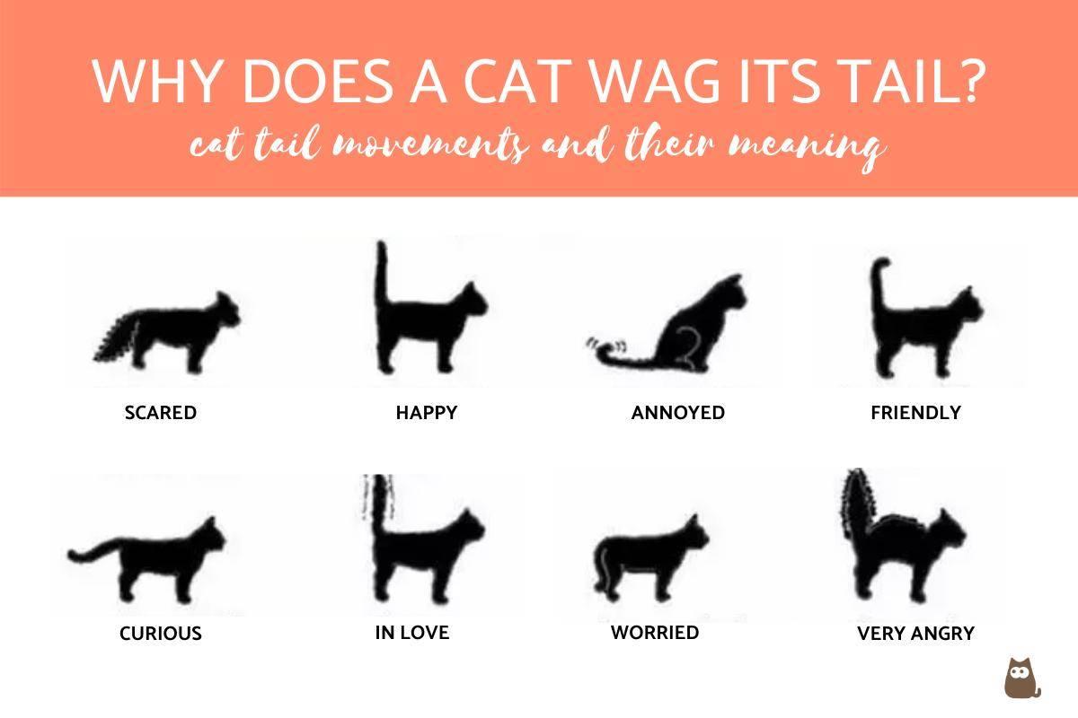 Британские коты до какого возраста растут — рассказываем обстоятельно
