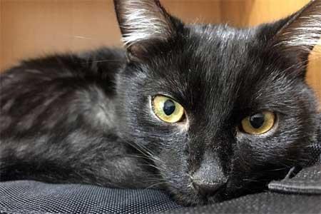 Панлейкопения у кошек и патогенез заболевания