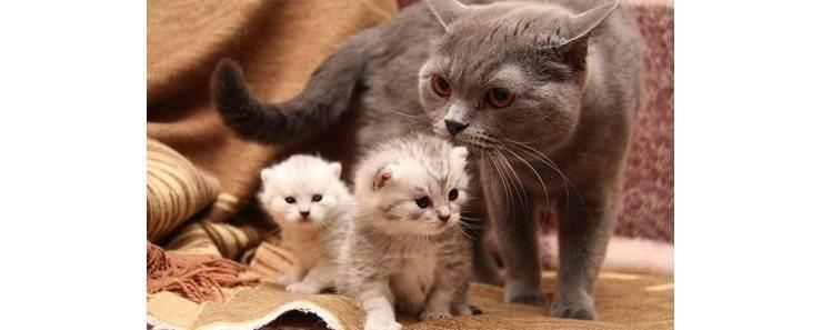 Признаки беременности у британской кошки. через сколько недель наступают роды у кошечки? как определить, что кошка беременна, сколько должно пройти времени