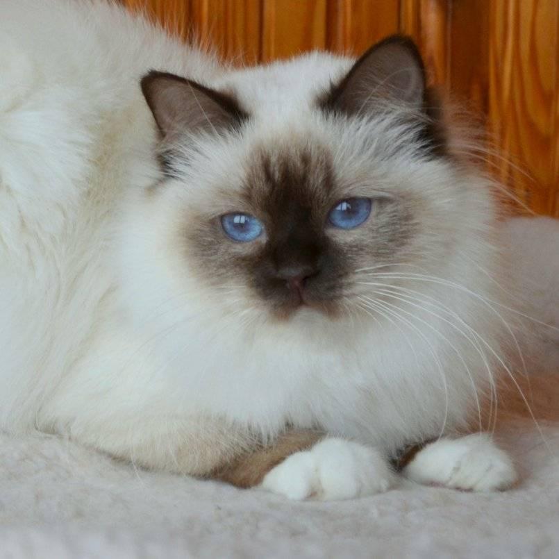 Священная бирманская кошка (священная бирма): 100 фото, цена котят, характер, содержание, особенности породы, отзывы