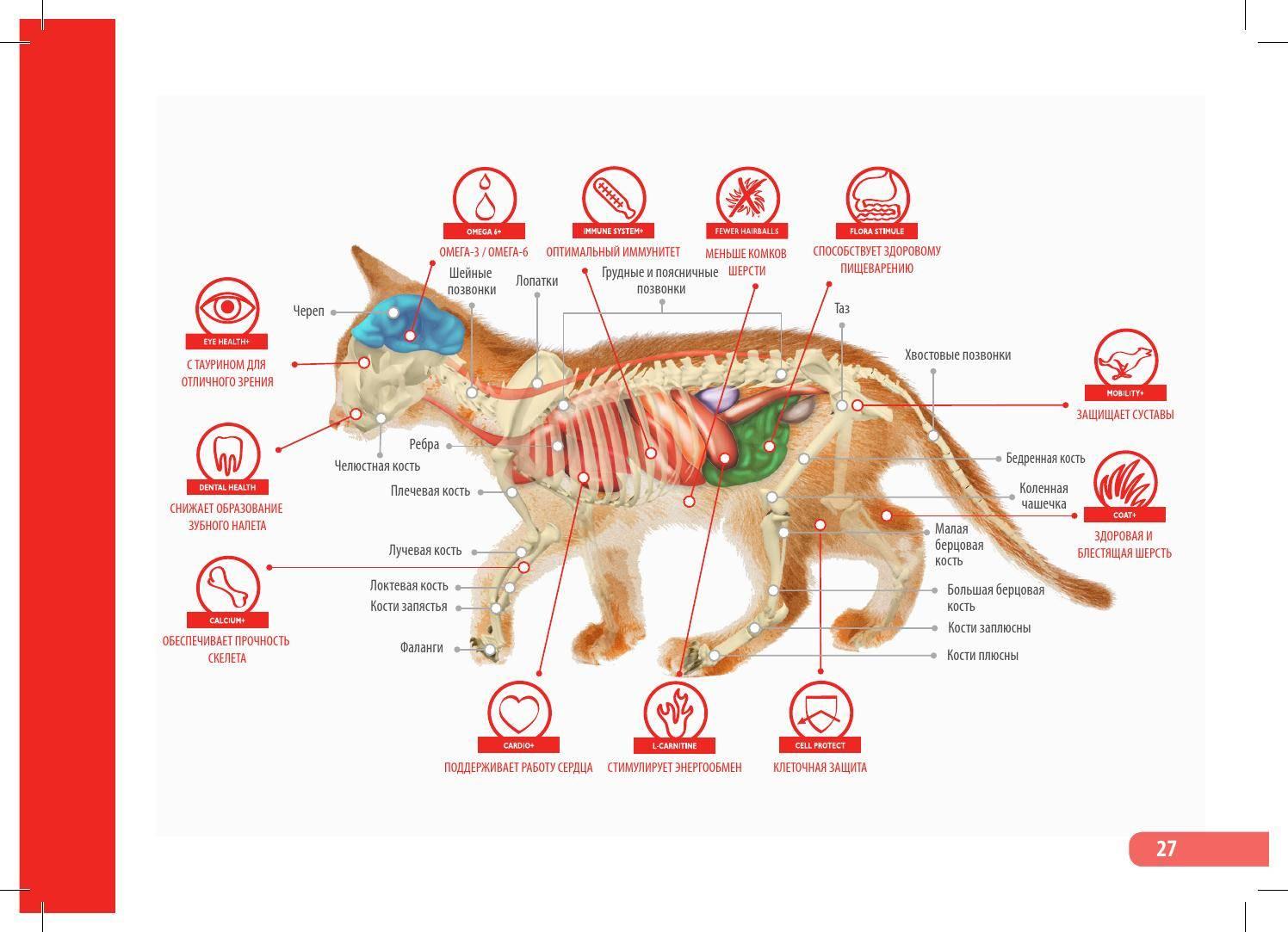 Перикардит у кошек: основные патологии вызывающие воспаление