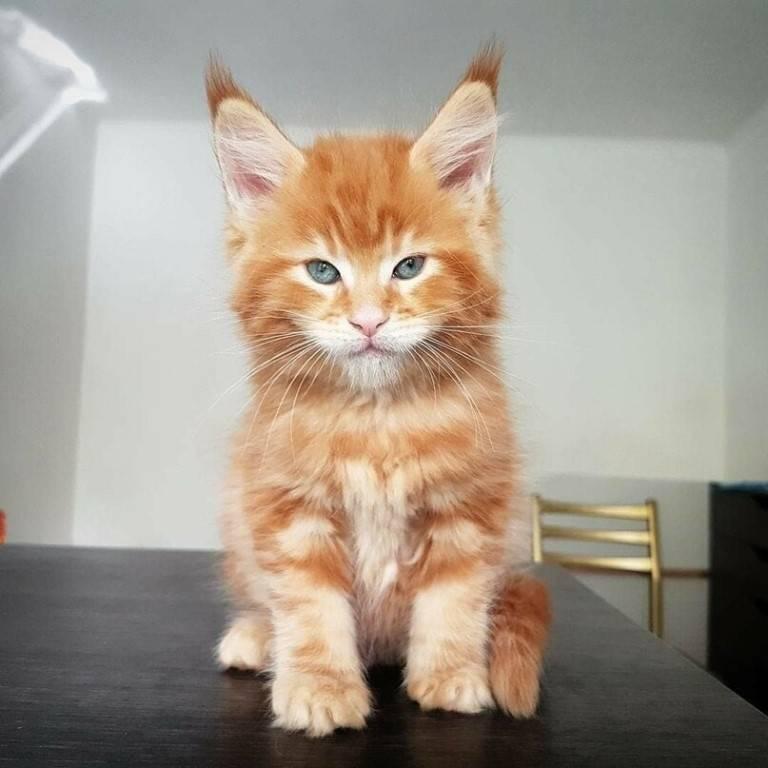 Рыжий мейн-кун: описание окраса, фото, особенности ухода, как назвать рыжего котенка мейн-куна