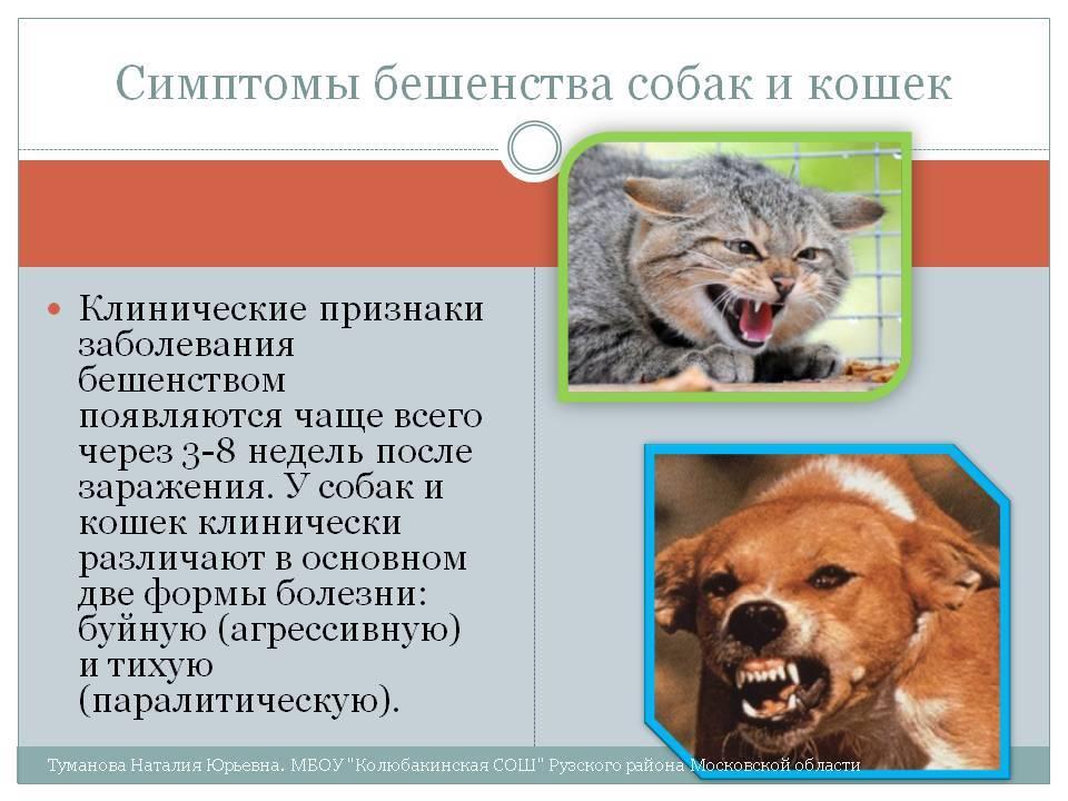 Бешенство у кошек: признаки, симптомы, формы и профилактика