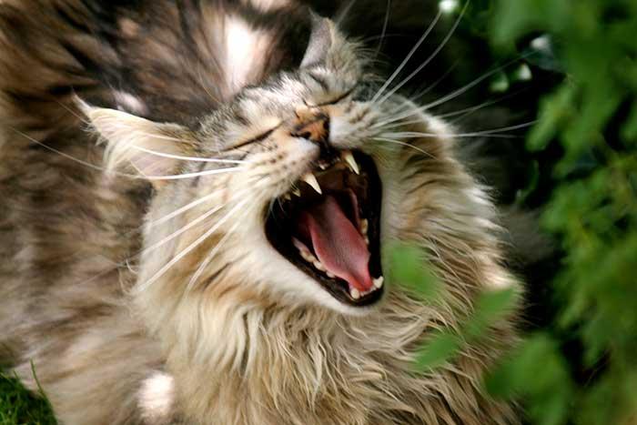 Смена зубов у котят: когда у котят меняются зубы, уход за малышом, возможные осложнения