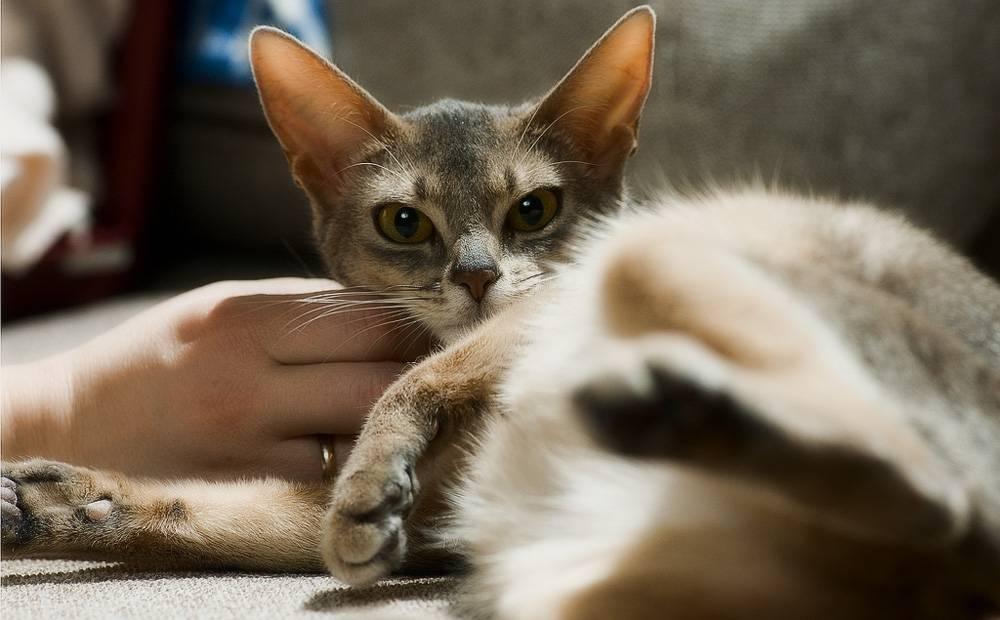 Течка у кошки: как успокоить в домашних условиях