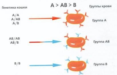 Несовместимость групп крови у кошек