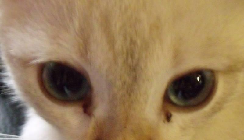 У кота или кошки слизь в глазах: что делать | причины и лечение