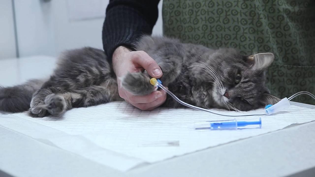 Туберкулез у кошек: симптомы, терапия и риск передачи владельцу